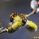 Apis Mellifera Carnica auf Salweide