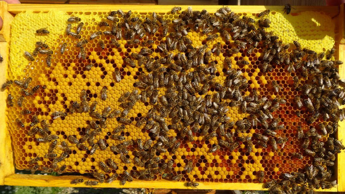 Brutwabe mit Pollen